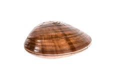 Frische glatte Muschel - chione Fasolara - Callista Oberteil lokalisiert lizenzfreie stockfotos