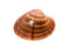 Frische glatte Muschel - chione Fasolara - Callista Oberteil lokalisiert lizenzfreie stockfotografie