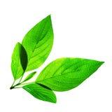 Frische Grün-Blätter auf Weiß Stockfotos