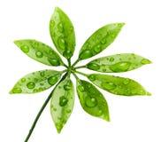 Frische Grünblätter lizenzfreie stockfotos