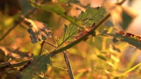 Frische Grünblätter auf einem Sonnenunterganghintergrund stock video