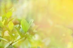 Frische Grünblätter gegen Morgenlicht Lizenzfreie Stockfotografie