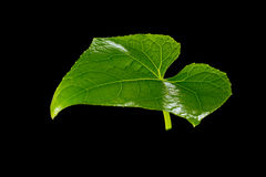 Frische Grünblätter Getrennt auf schwarzem Hintergrund Stockfotos