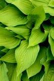 Frische Grünblätter mit Tropfen des Taus Lizenzfreie Stockfotos