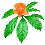 Frische Grünblätter orange Wachs-Rose lokalisiert auf Weiß, Pereskia Bleo-Blumenwipfel Stockbild