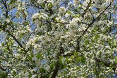 Frische Grünblätter und weiße Blumen des Kirschbaums Lizenzfreie Stockfotos