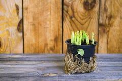 Frische grüne Basilikumblätter Lizenzfreies Stockbild