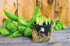 Frische grüne Basilikumblätter Stockfoto