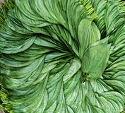 Frische grüne Betelblätter lizenzfreies stockfoto