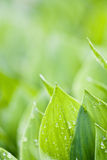 Frische grüne Blätter Lizenzfreie Stockfotos