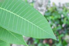 frische grüne Blätter, Adeniumblatt schön Lizenzfreie Stockfotografie