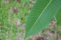 frische grüne Blätter, Adeniumblatt schön Stockfoto