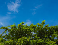 Frische grüne Blätter der Seemandel oder der tropischen Mandel (Terminalia Lizenzfreie Stockfotos