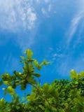 Frische grüne Blätter der Seemandel (Terminalia-catappa L etwas körniges) Stockfotos