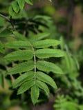 Frische grüne Blätter symmetrisch auf der Niederlassung stockfotografie