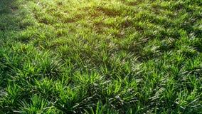 Frische grüne Blätter von Mini Mondo-Gras oder von Schlangenbart, Bodendeckeanlage unter orange Sonnenlichtmorgen lizenzfreies stockfoto