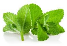 Frische grüne Blattminze Stockbilder