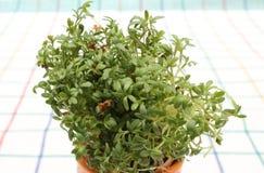 Frische grüne Brunnenkresse in der orange Schale Lizenzfreie Stockfotografie