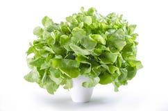 Frische grüne Eichensalatblätter Stockfotografie