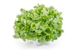Frische grüne Eichensalatblätter: Beschneidungspfad eingeschlossen Stockfotografie