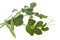 Frische grüne Erbsen mit Blättern und Blumen Stockfoto