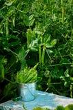 Frische grüne Erbsen mit Blatt und Blume in einem Eimer auf Natur gree Stockbild