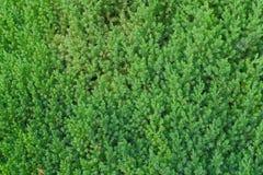 Frische grüne Farbnadel geformte Blätter stockfotos