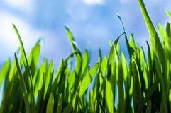 Frische grüne Frühlingsgrasblätter Stockbild