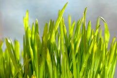 Frische grüne Frühlingsgrasblätter Stockfotos