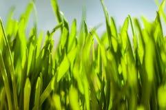 Frische grüne Frühlingsgrasblätter Lizenzfreies Stockfoto