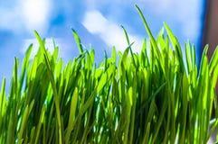 Frische grüne Frühlingsgrasblätter Stockfoto