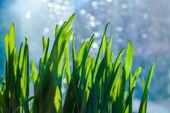 Frische grüne Frühlingsgrasblätter Lizenzfreie Stockbilder