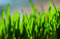 Frische grüne Frühlingsgrasblätter Lizenzfreie Stockfotografie