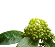Frische grüne Frucht lokalisiert auf einem weißen Hintergrund Stockfotografie