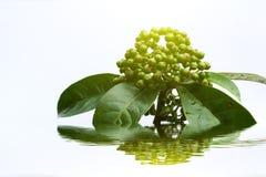Frische grüne Frucht lokalisiert auf einem weißen Hintergrund Stockfotos