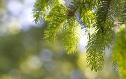 Frische grüne Kiefernblätter Stockbild