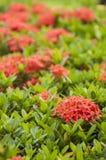 Frische grüne kleine Blätter einer tropischen Anlage mit rosa Blumen Stockfoto