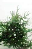 Frische grüne Meerespflanze im Wasser Stockbilder