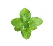 Frische grüne Minze Stockfotografie