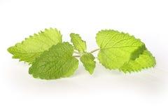 Frische grüne Minze stockfotos
