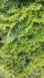 Frische grüne Nadeln Stockbilder