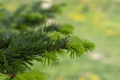 Frische grüne Nadeln auf einem Nadelbaum im Frühjahr stockbilder