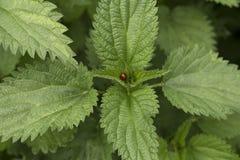 Frische grüne Nessel mit Marienkäfer Stockfotografie