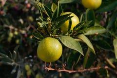 Frische grüne Orangen auf Baum Lizenzfreie Stockfotografie