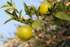 Frische grüne Orangen auf Baum Lizenzfreie Stockbilder