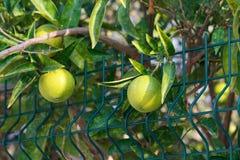 Frische grüne Orangen auf Baum Stockbild