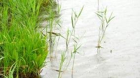 Frische grüne Schilfe, die in den Wind schwingen und wellenartig bewegen Seebank mit kleiner Tiefe, Reflexion stock footage