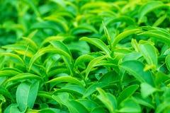 Frische grüne Teeblätter Lizenzfreies Stockbild
