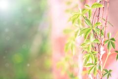 Frische grüne Traube verlässt auf einem schönen grün-rosa unscharfen Hintergrund M?dchenhafte Trauben Selektiver Fokus, Kopienrau stockfotos