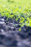 Frische, grüne und fruchtbare Landwirtschaftsanlagen, Gras lizenzfreie stockbilder